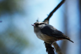 animal_and_flora,_bird,_leucos