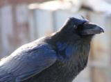 animals,_bird,_raven,_black,_n