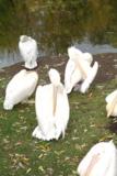 пеликан,_белый,_в