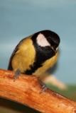 Синичка,_птица