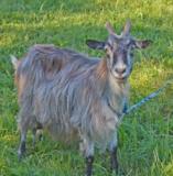 коза,_животное,_ф
