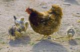 курица,_цыплята,_