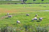 овцы;_ферма;_прир