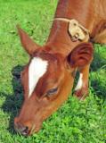 Корова_домашняя,