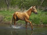 Horse_sorrel_chestnut_ganger_s