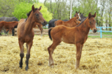 Thoroughbred_Horse_Kicker_Gang