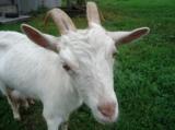 коза,_козья_морд�