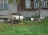 коза,_белая,_дойн