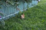 курица,_идущая_к�