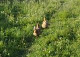 курица,_две_кури�