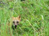 animal_and_flora,_fox,_curious