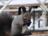 nature,_animal,_squirrel,_bar