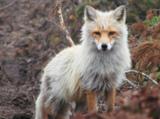 animal_and_flora,_animal,_fox,