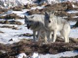 animal_and_flora,_animal,_wolf