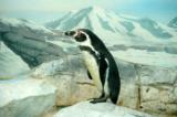 Пингвин,_лед,_сне