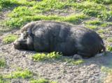 Зоопарк,_Свинья,_