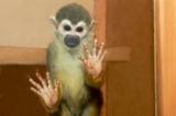 обезьяна,_животн