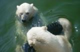 медведь,белый,се