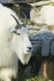 снежная,_коза,_жи