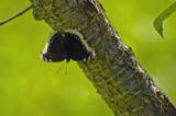 бабочка,_траурни