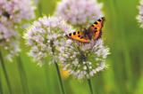 бабочка,_крапивн