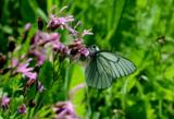 Бабочки,_цветок_�
