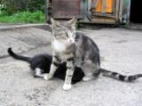 кошка;_котенок;_ж