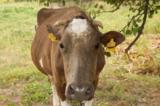 Корова;рога;живо