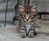 котенок,_серый,_м