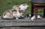 котенок,_кошка,_с
