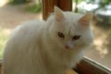 кот,_кошка,_белый