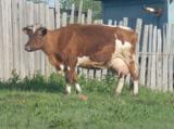 корова,_порода,_ж
