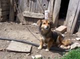Собака,_дворняжк