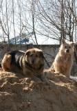 Собаки,_дворняжк