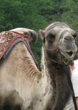 Верблюд,_животно