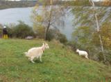 коза,_животное,_м