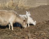коза,_козлята,_па