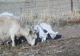 коза,_козлята,_по