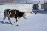 корова,_дорога,_п