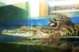 животное,_крокод