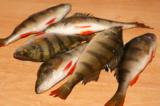 Окуни,_рыба,_улов