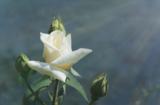 нежный,_роза,_бел