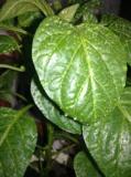 зеленые_листочк�