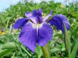 animal_and_flora,_flora,_iris,
