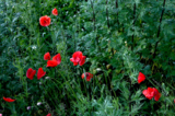 мак.цветок,_раст�