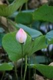 Лотос,_цветок._во