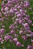 Космея,_цветы,_л�