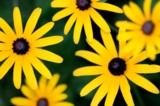 Дача,_цветы,_желт