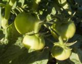 помидор,_томат,_з
