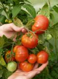 помидор,_томат,_к